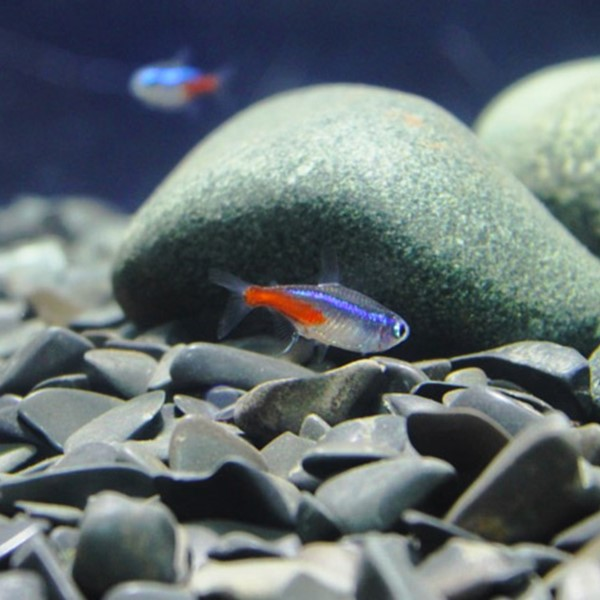 Small colourful fish in a fish tank