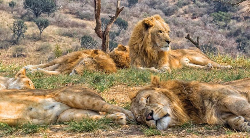 Group of lions sleeping soundly