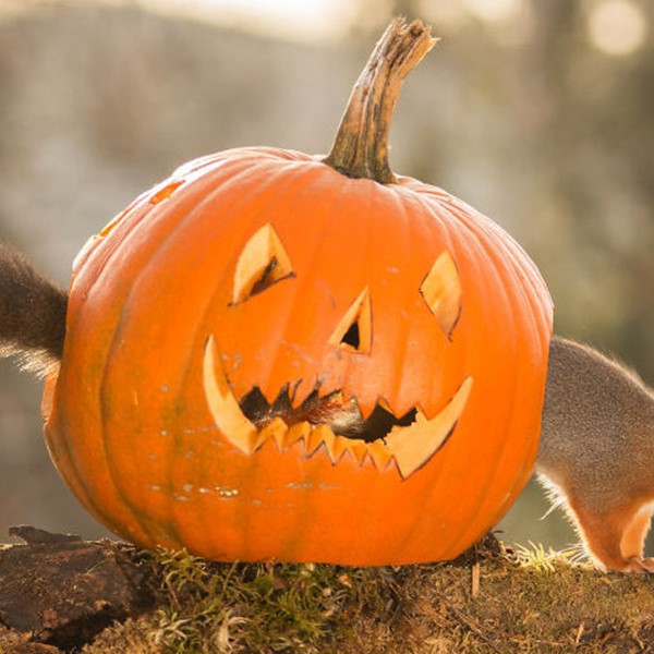 Halloween pumpkin squirrel