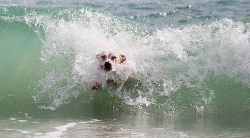 Dog bodysurfing wave