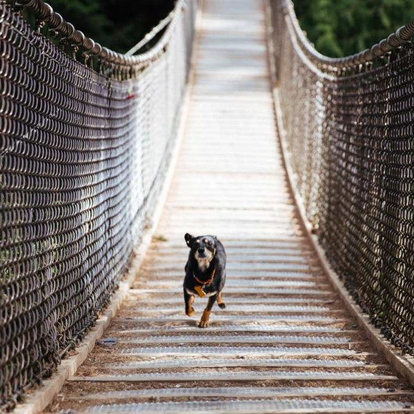 Dog running across bridge